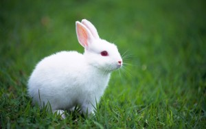 White_Bunny_Wallpaper_1440x900_wallpaperhere